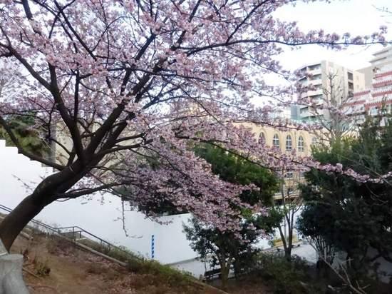 #01河津桜東郷公園160213_162950.jpg