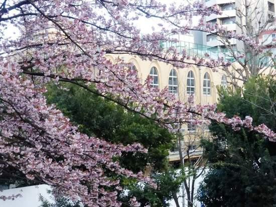 #02河津桜東郷公園160213_163005.jpg