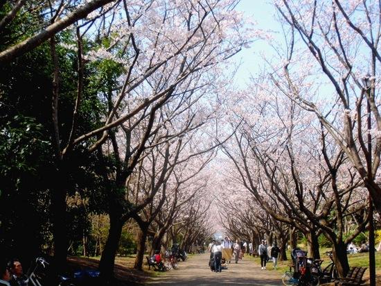 #02葛西臨海公園サクラ並木C8906.jpg