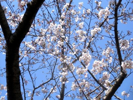 #05葛西臨海公園の桜C8905.jpg