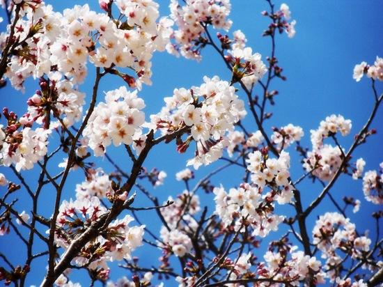 #06葛西臨海公園の桜C8904.jpg