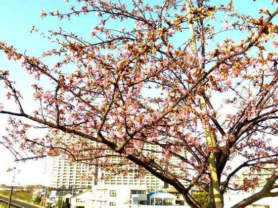 #C03江戸川・河津桜160219_153929.jpg