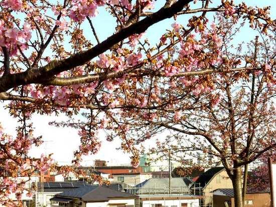 #C06江戸川・河津桜160219_154055.jpg