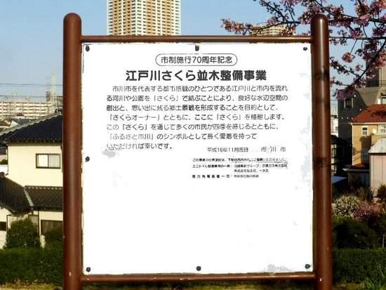 #C10江戸川・河津桜160219_154438B.jpg