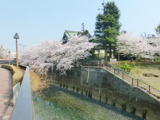 $14青丸⑦金剛寺の桜イP326.jpg