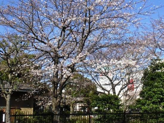 A01G3743コルトンプラザの桜1.jpg