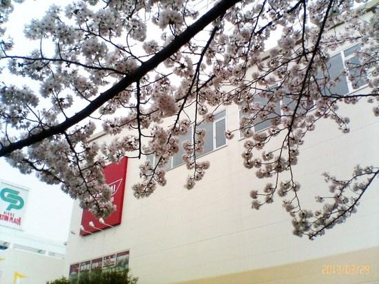 A02P006コルトンの桜(背景コナミスポーツ)B.jpg