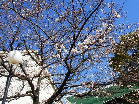A03G3740コルトンプラザの桜3.jpg