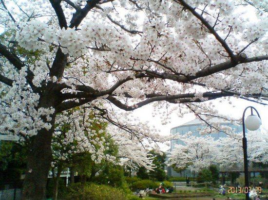 A03P008コルトンの桜(背景産業科学館)  94.jpg